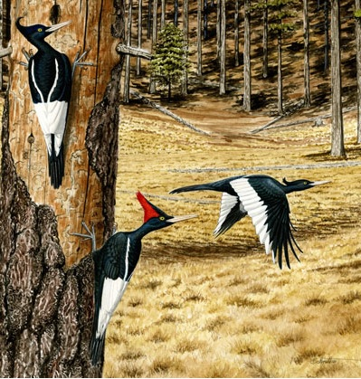 color illustration of three Imperial Woodpeckers in a forest
